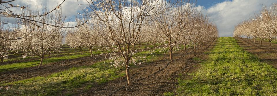 almond bloom