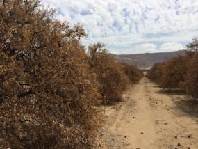Dead Citrus Trees