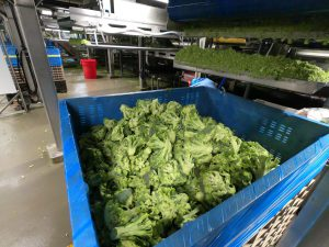 Broccoli in bins. When every pound matters, nothing goes to waste.