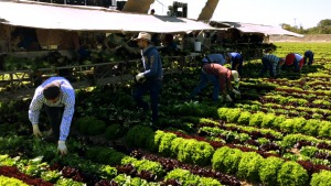 Hard at work harvesting lettuce, some of Tanimura and Antle's owners- It is an employee-owned family farm.